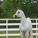 Toskhara Arabians